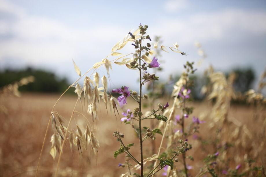 espiga i flor 2