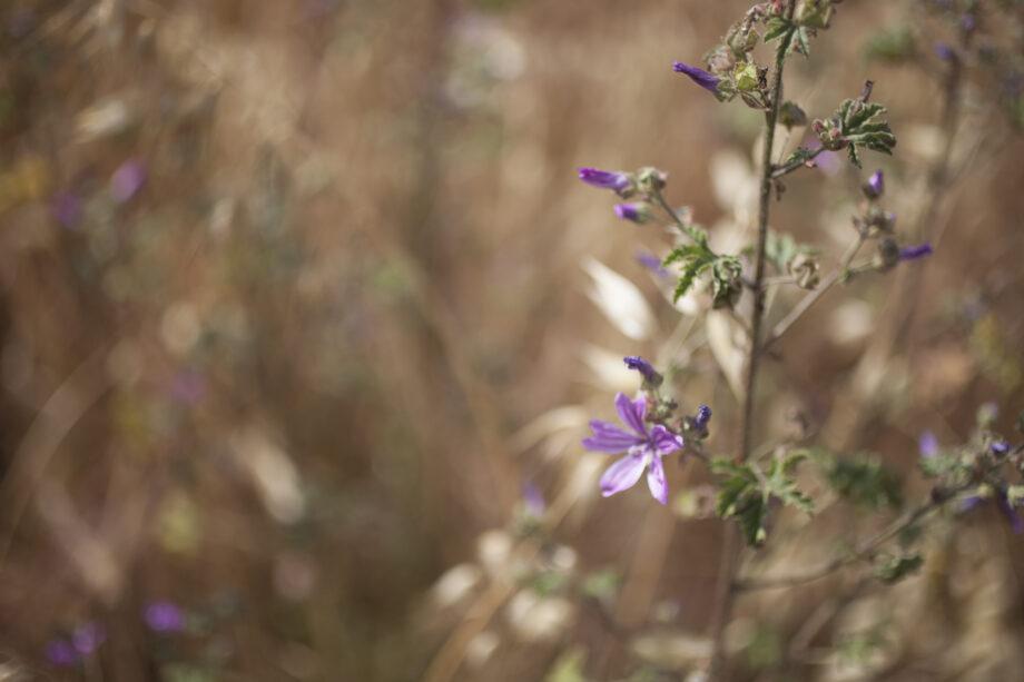 flor i blat